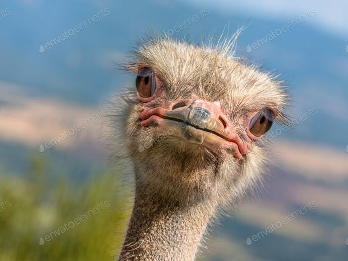 Potrait of an Ostrich diagonal