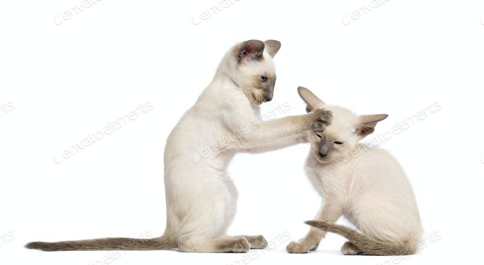 Two Oriental Shorthair kittens, 9 weeks old, play fighting against white background