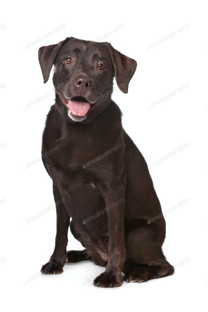 Schokolade Labrador
