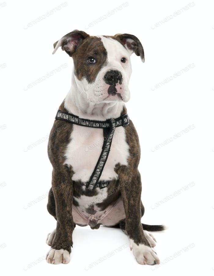 American Bulldog puppy (4 months old)