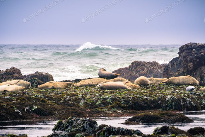 Harbor seals sitting on rocks at low tide, Fitzgerald Marine Reserve, Moss Beach, California