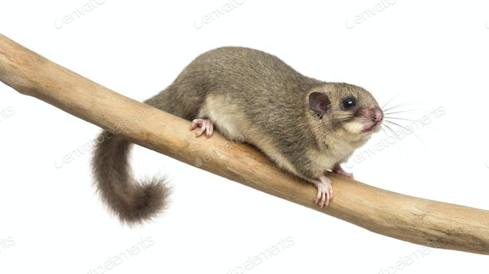 Thumbnail for Edible dormouse on a branch in front of a white background