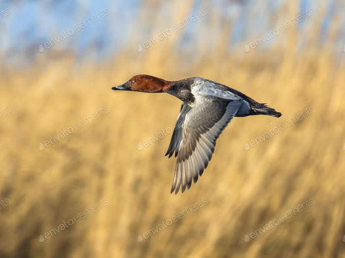 Flying common porchard