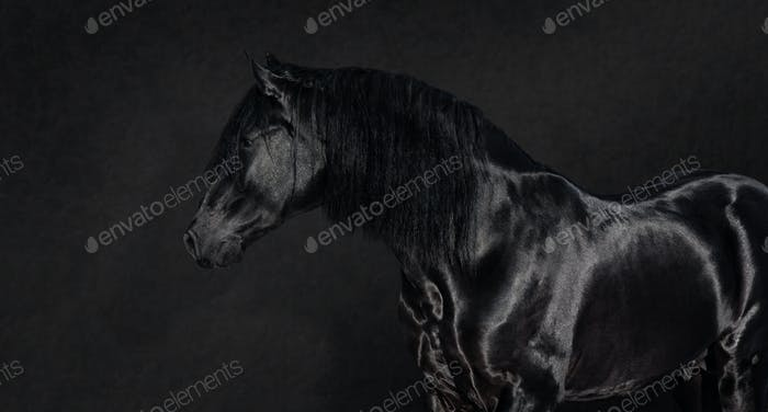 Black Pura Spanish stallion on dark background.