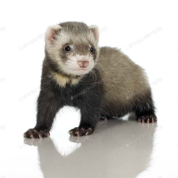 Ferret kit (6 weeks)
