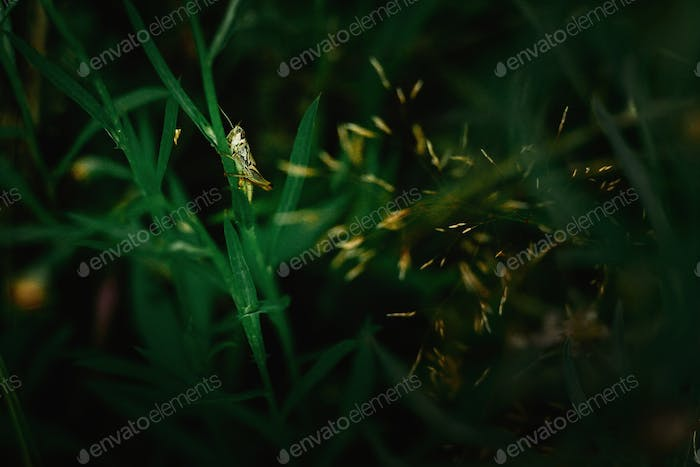 beautiful green grasshopper on herb in the sunny mountains,spring time