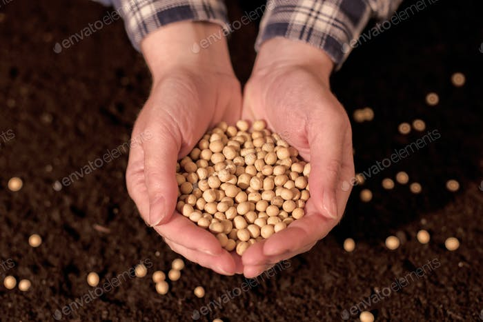 Harvested soybean in hands