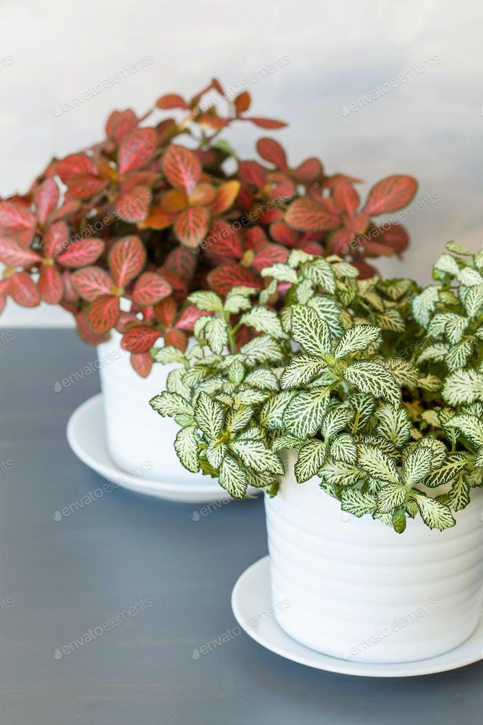 Zimmerpflanze Fittonia albivenis in weißen Blumentopf