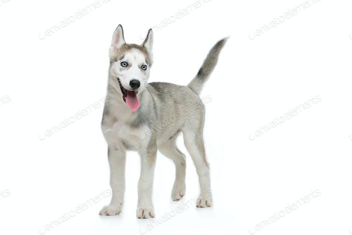 Niedlicher Husky Welpen Hund
