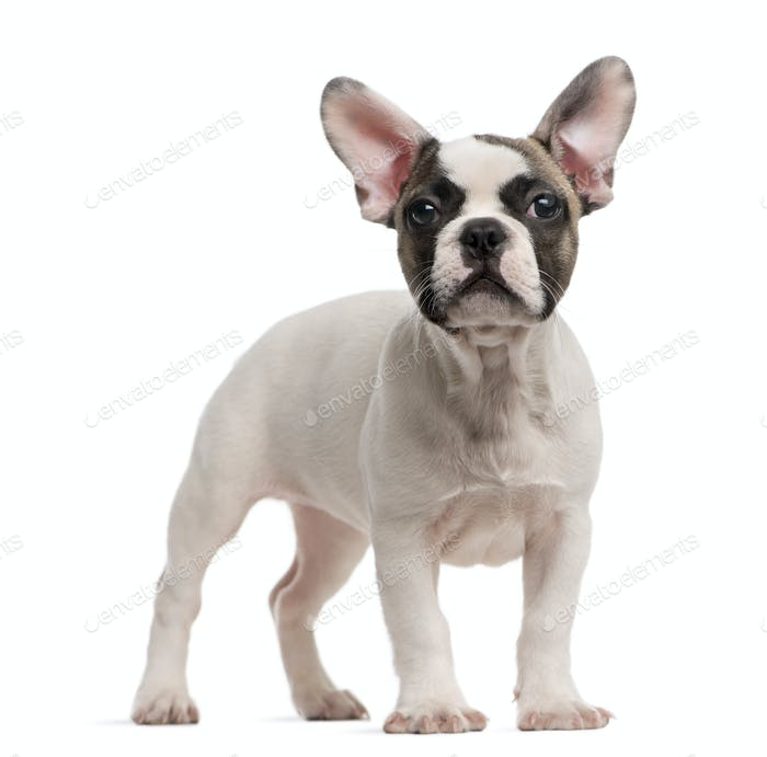 French Bulldog (3 months old) standing in front of a white background
