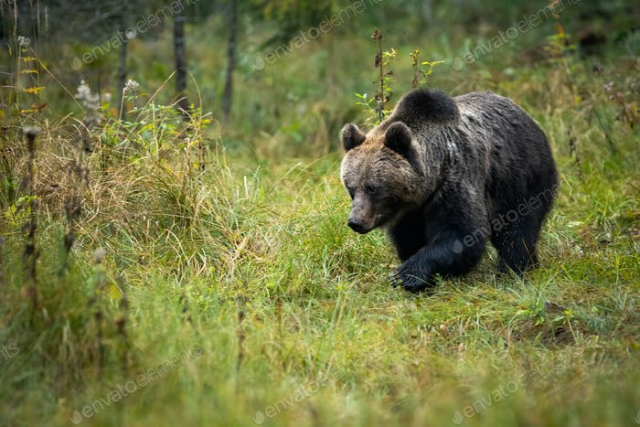 Brown bear looking for something on the autumn clearing