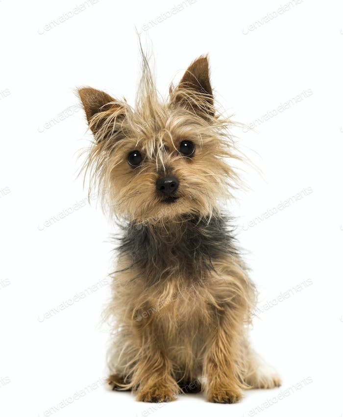 Yorkshire Terrier with a crest, sitting, looking at the camera,1 year old, isolated on white