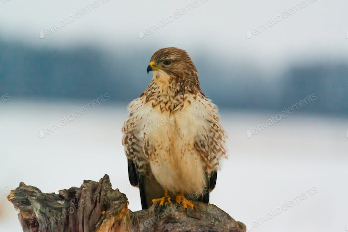 Photo of common buzzard buteo buteo on a tree