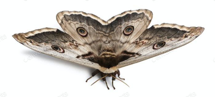 The largest European Moth, the Giant Peacock Moth, Saturnia pyri, in front of white background
