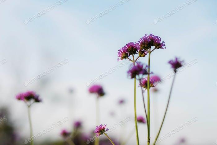Lila Blumen am blauen Himmel