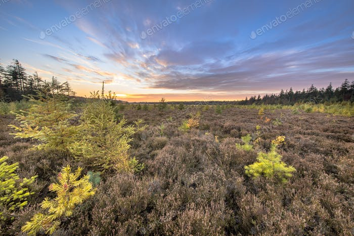 Heathland with bright colored larch