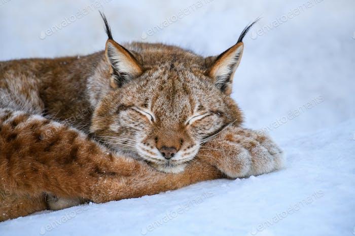 Lynx duerme en la nieve. Escena de vida silvestre de invierno