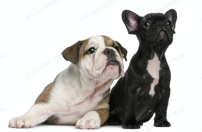 French Bulldog Puppy and French Bulldog Puppies
