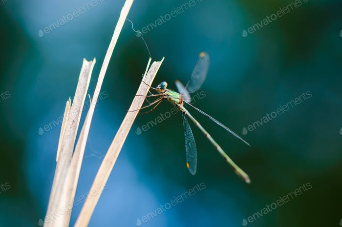 Thumbnail for Beautiful detail of Lestes sponsa dragonfly
