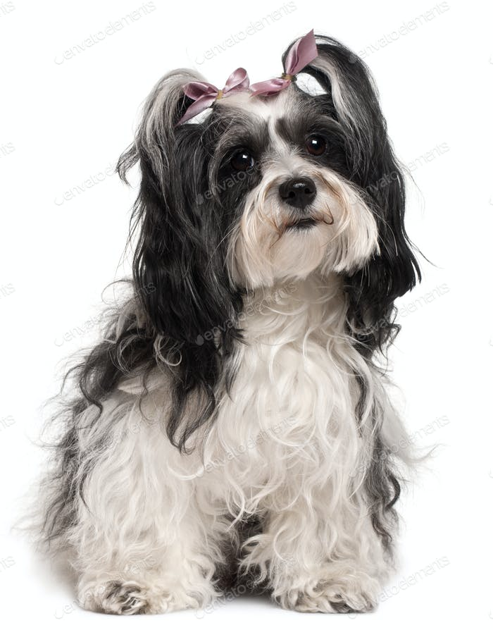 Havanese, 3 years old, sitting in front of white background