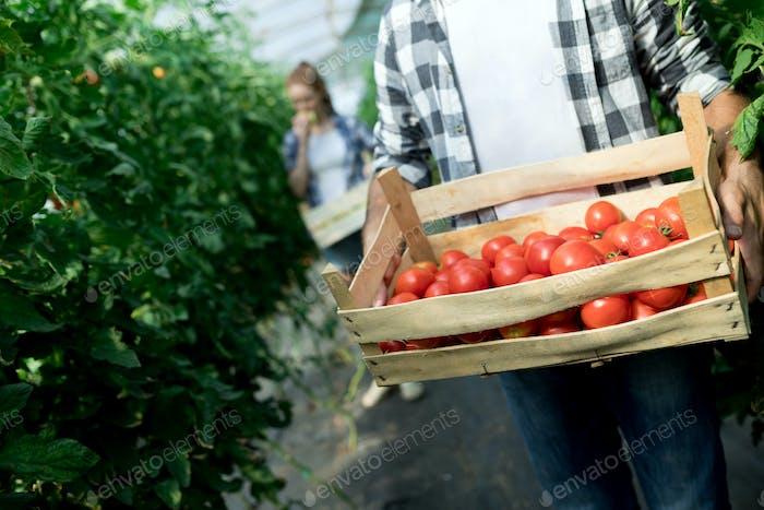 Reife natürliche Tomaten wachsen in einem Gewächshaus