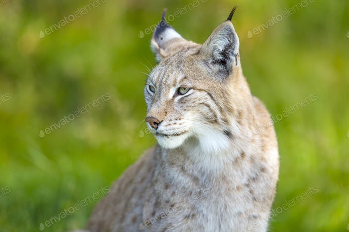 Eurasian lynx sitting in the green grass