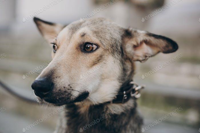 Porträt von niedlichen grauen Hund in der Stadt Straße