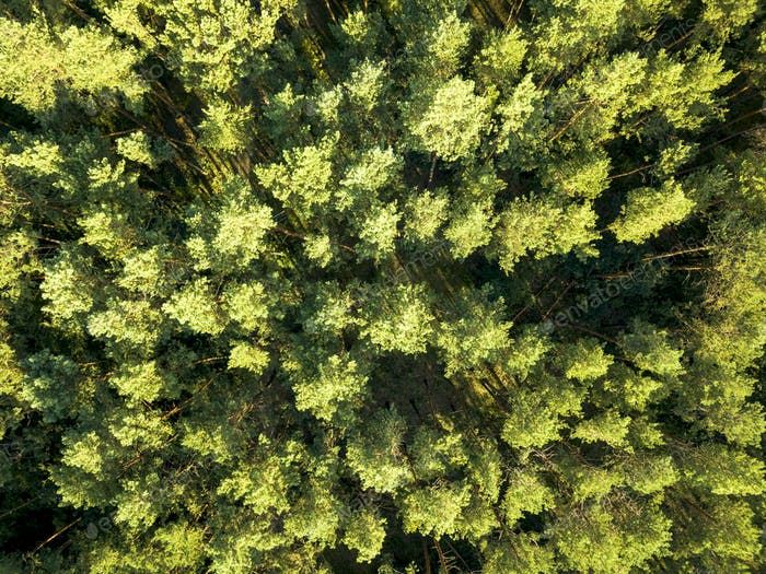Top view of a summer deciduous forest on a clear summer day. Aerial view with dron like foliage