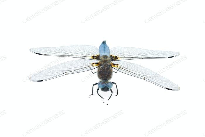 Big blue dragonfly (Libellula depressa)
