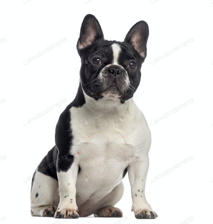 French Bulldog sitting (11 months old)