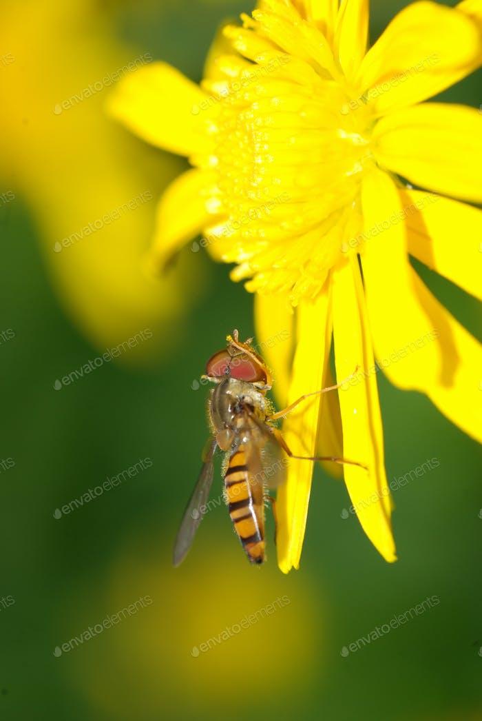 Insektenbiene auf Blume