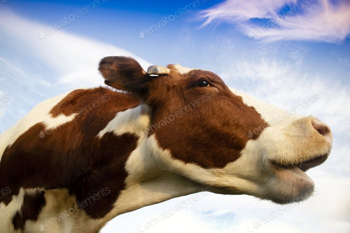 Portrait of the Italian red spotted cow