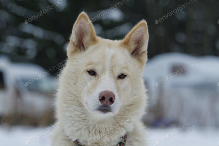 Portrait of husky dog outdoor