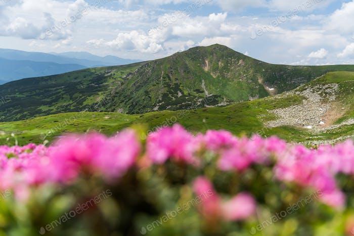 Rosa Rhododendron Blumen in den Bergen