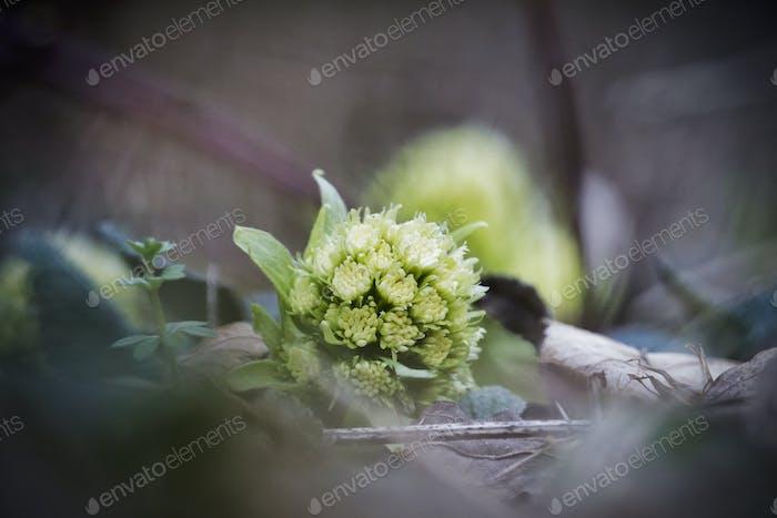 Petasites albus springtime forest herb