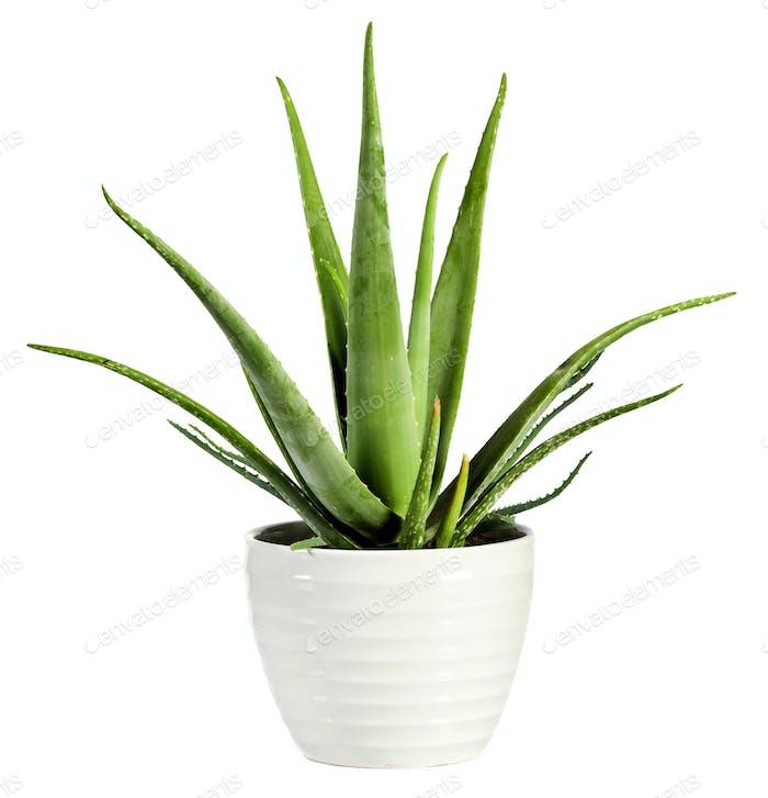 Isolated fresh Aloe vera plant in a flowerpot