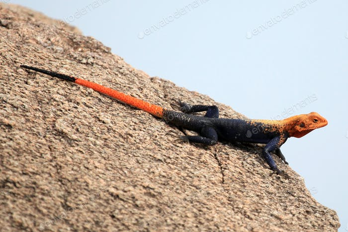 Red Headed Agama Lizard - Uganda, Africa
