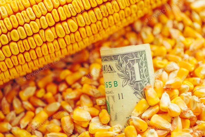 One US dollar bill in harvested corn kernels heap