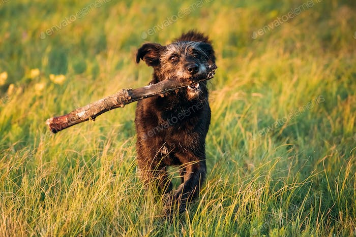 Small Size Black Dog Play With Wooden Stick In Summer Sunset Sun