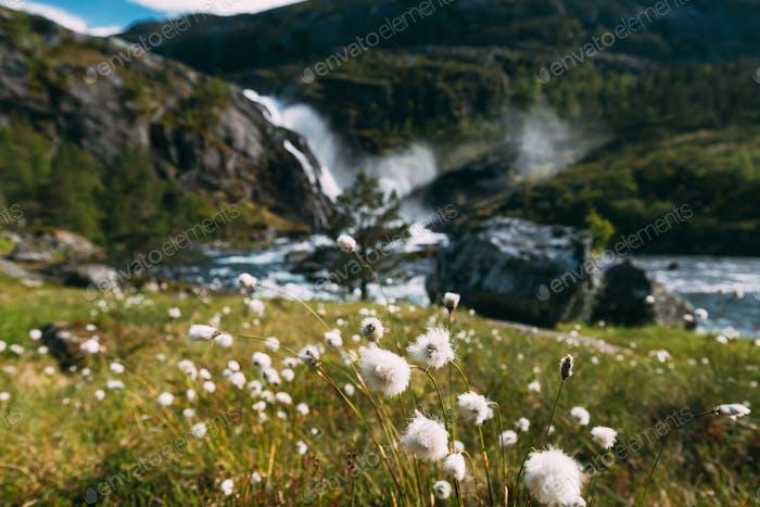 Kinsarvik, Hordaland, Norwegen. norwegische landschaft mit bergen baumwolle gras, baumwolle-gras oder