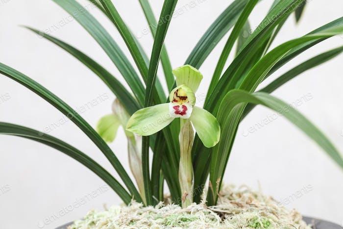 Orchideenblüte Nahaufnahme