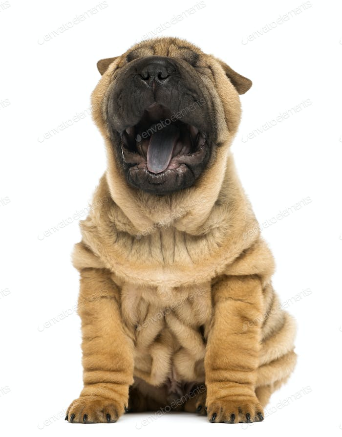 Front view of a Shar pei puppy, open mouth, Yawning,  sitting (11 weeks old) isolated on white