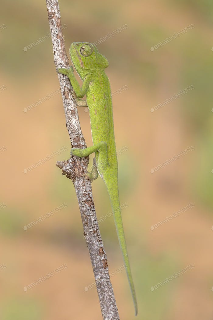 African chameleon on branch