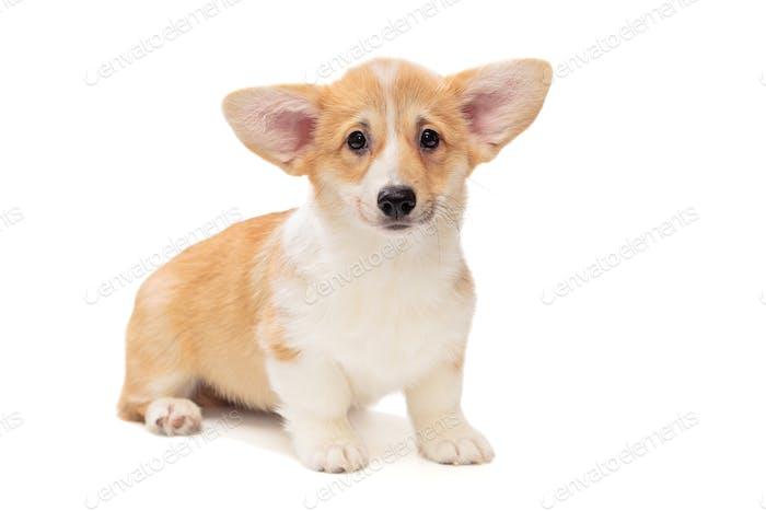 Cute Pembroke Corgi Puppy