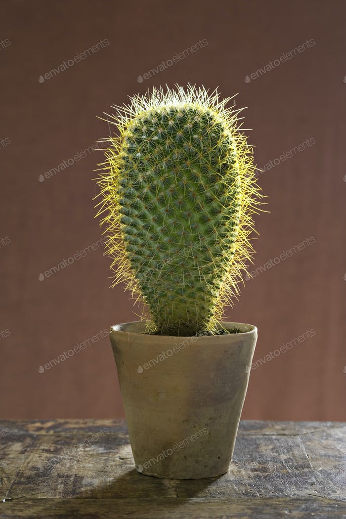 A large prickly succulent cactus plant in a pot.
