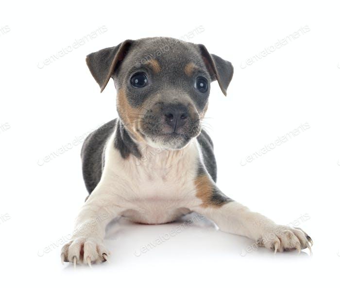 puppy brazilian terrier in studio