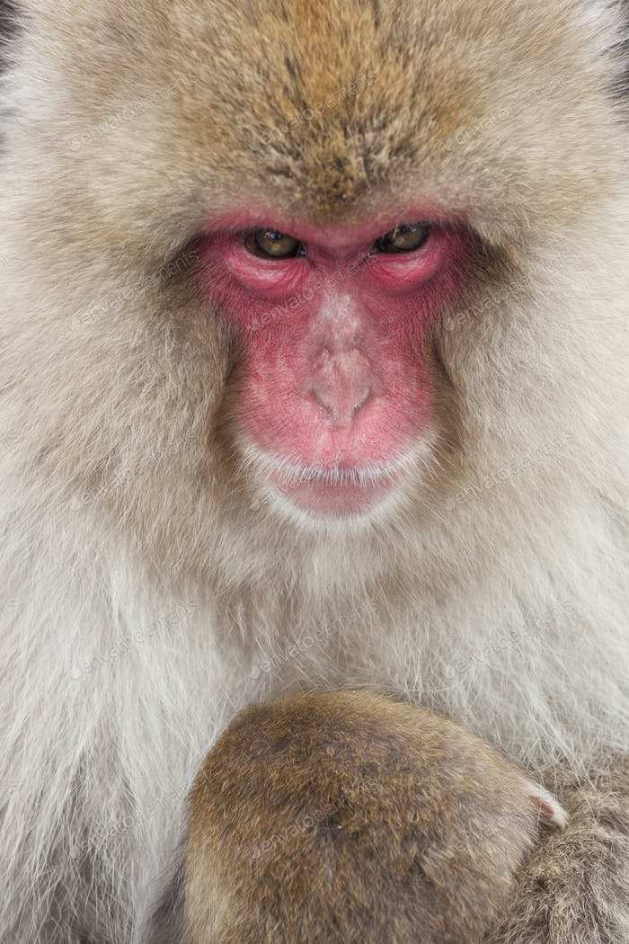 Japanese Macaque (Macaca fuscata) in the winter snow, Joshin-etsu National Park, Honshu, Japan.