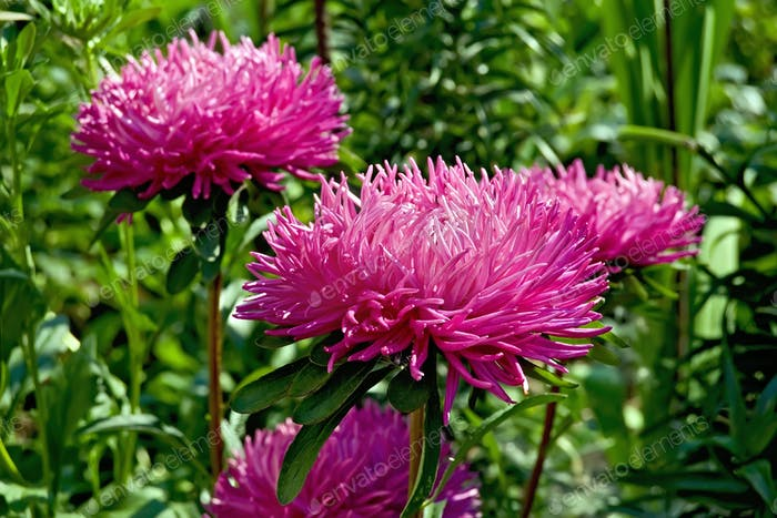 Aster pink lush