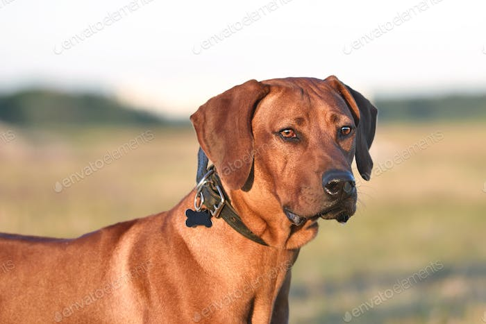 Portrait of Ridgeback