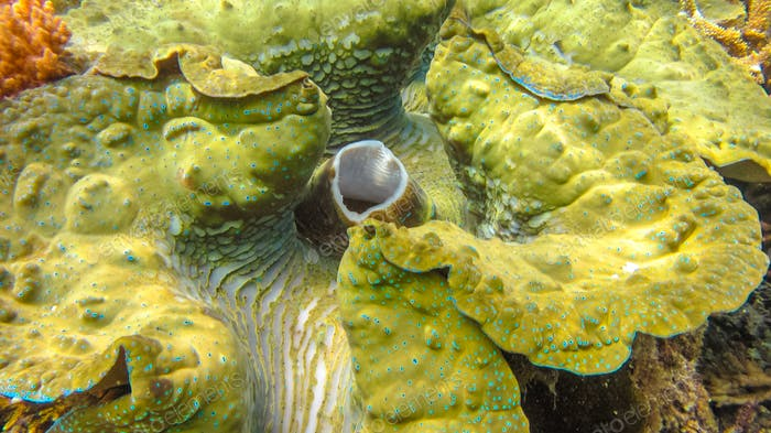 Close up of Colorful giant clam Tridacna gigas grows in the shallows Raja Ampat, Indonesia